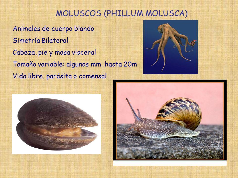 MOLUSCOS (PHILLUM MOLUSCA)