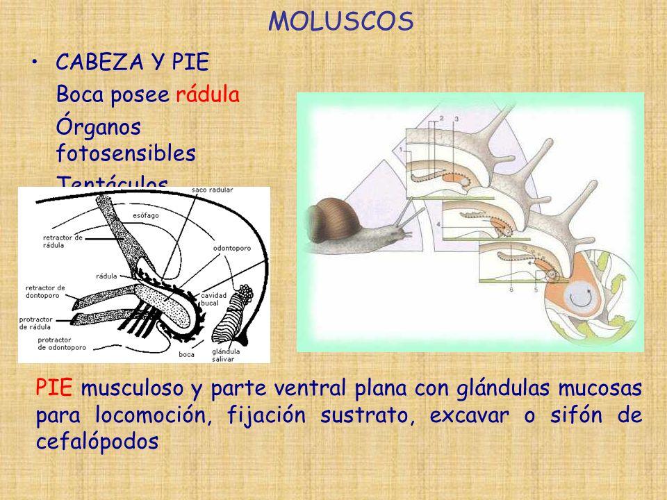 MOLUSCOS CABEZA Y PIE Boca posee rádula Órganos fotosensibles