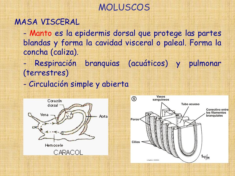 MOLUSCOS MASA VISCERAL