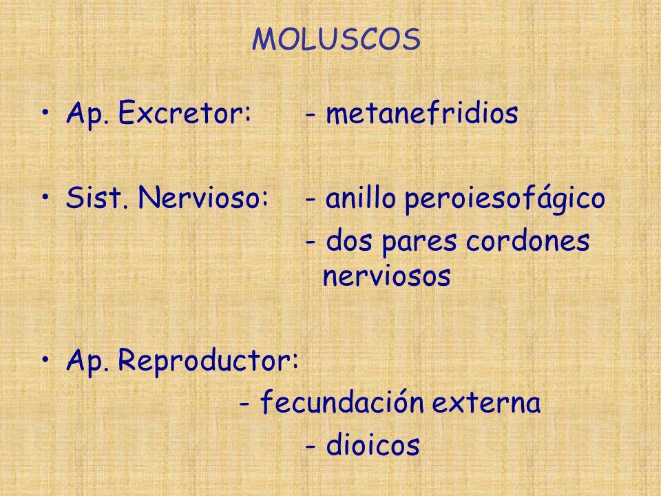 Ap. Excretor: - metanefridios Sist. Nervioso: - anillo peroiesofágico