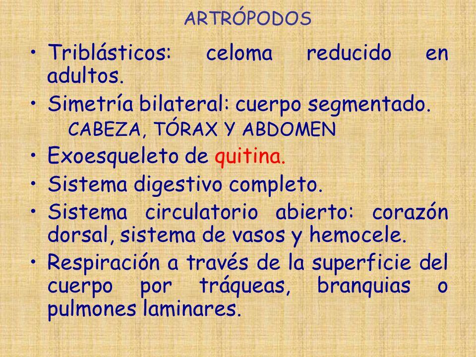 Triblásticos: celoma reducido en adultos.