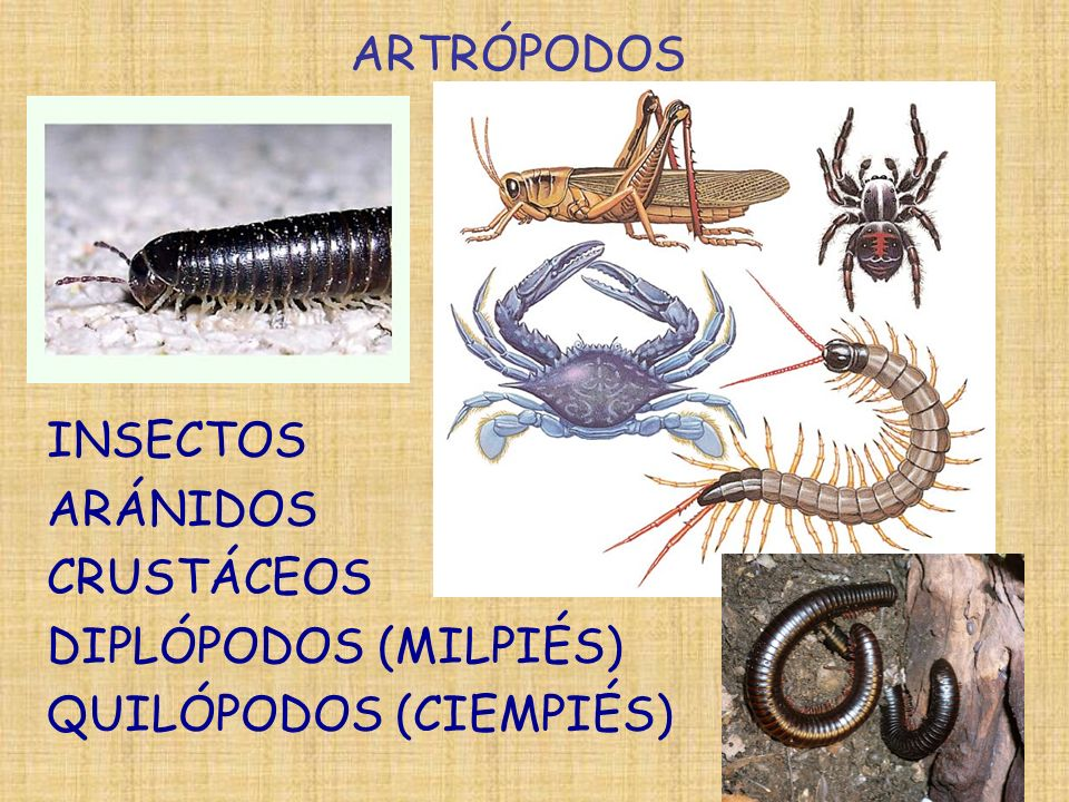 ARTRÓPODOS INSECTOS ARÁNIDOS CRUSTÁCEOS DIPLÓPODOS (MILPIÉS) QUILÓPODOS (CIEMPIÉS)