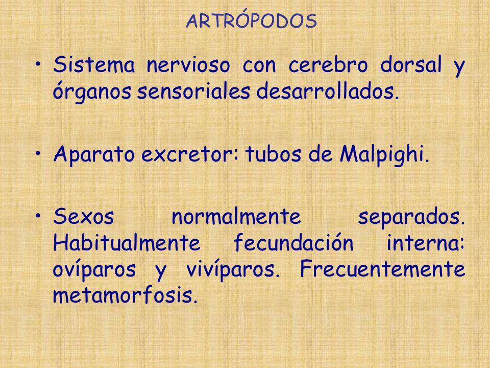 Aparato excretor: tubos de Malpighi.
