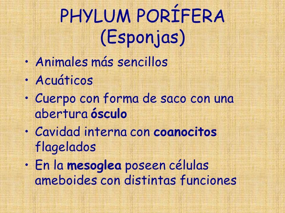 PHYLUM PORÍFERA (Esponjas)