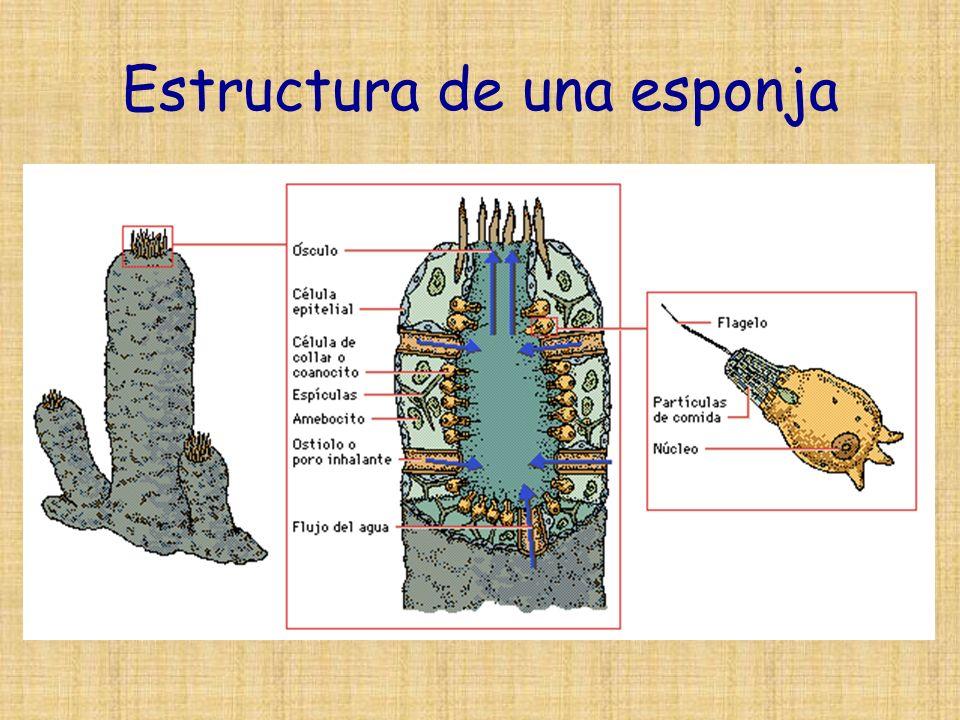 Estructura de una esponja