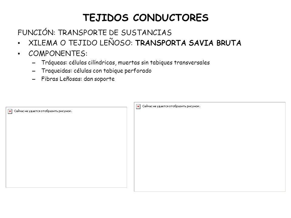 TEJIDOS CONDUCTORES FUNCIÓN: TRANSPORTE DE SUSTANCIAS