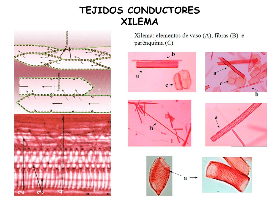 TEJIDOS CONDUCTORES XILEMA