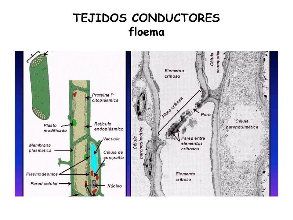 TEJIDOS CONDUCTORES floema