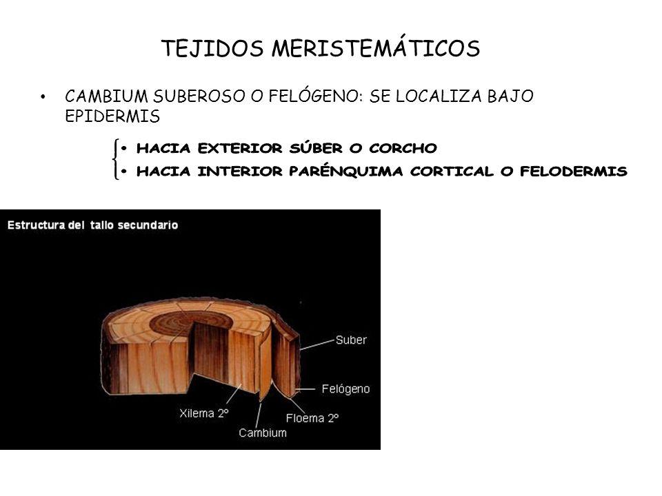 TEJIDOS MERISTEMÁTICOS