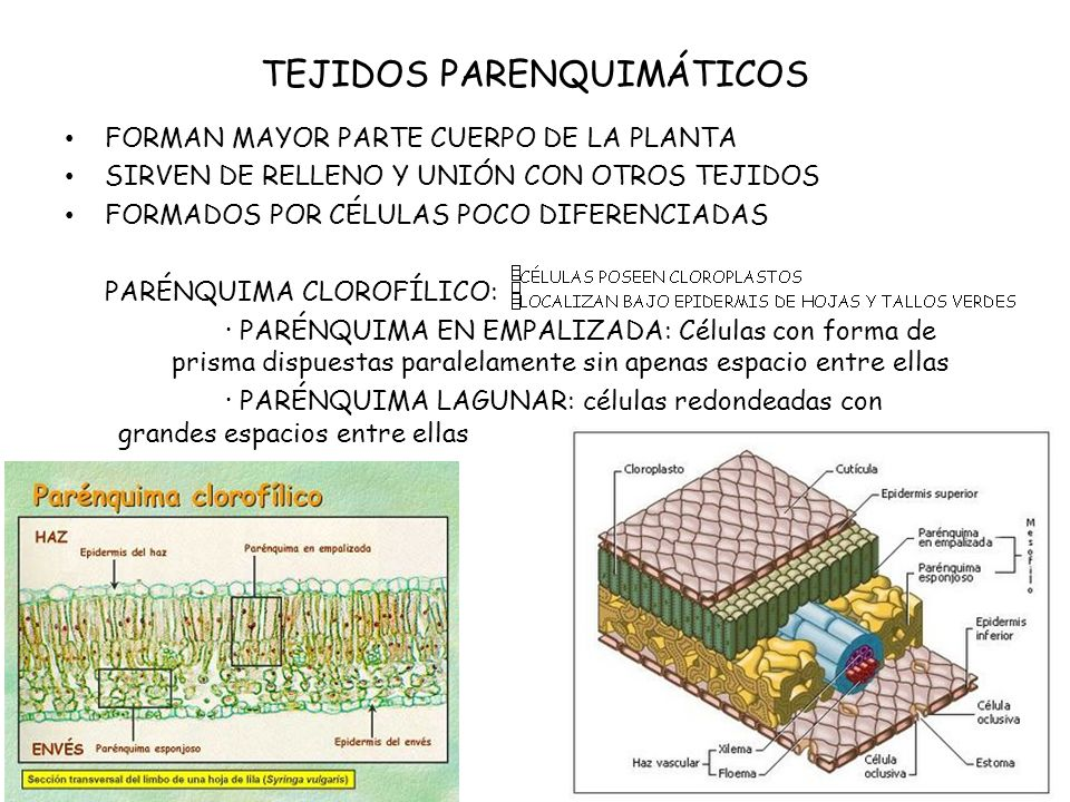 TEJIDOS PARENQUIMÁTICOS