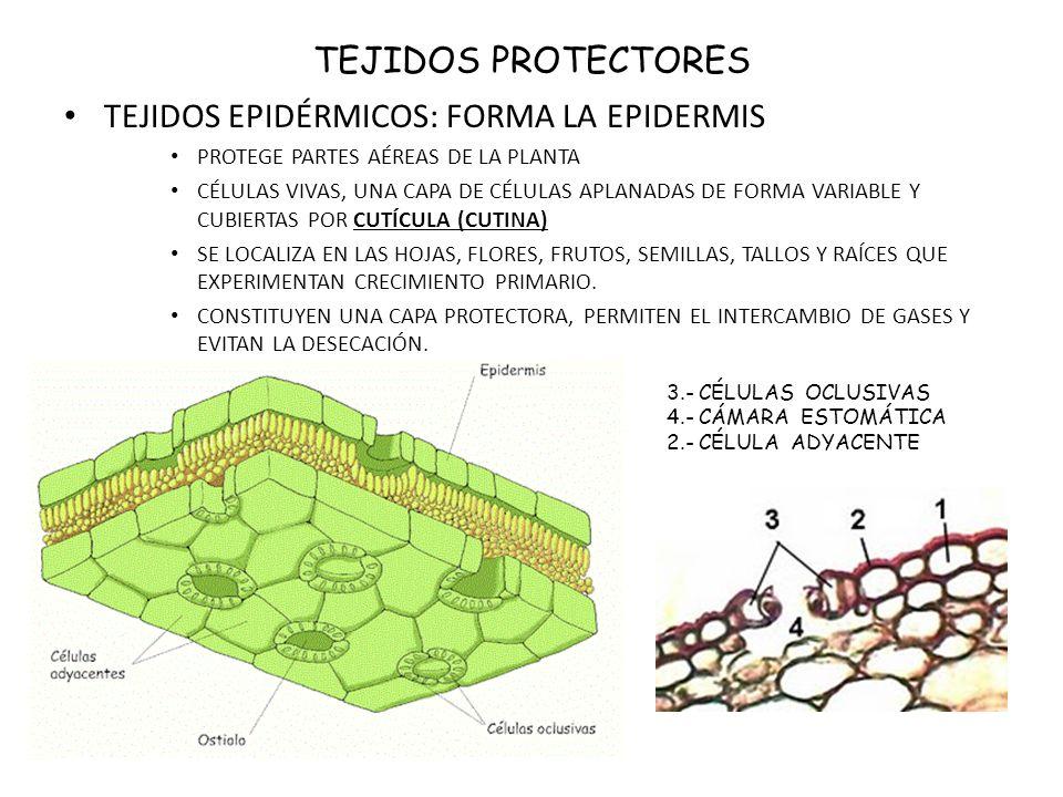 TEJIDOS EPIDÉRMICOS: FORMA LA EPIDERMIS