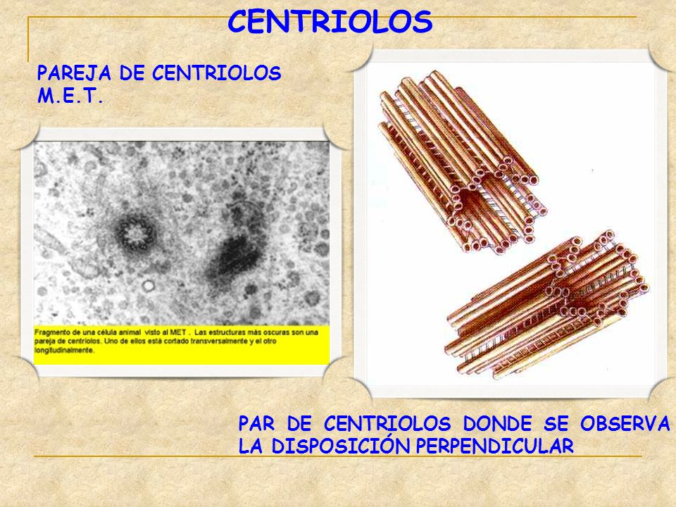 CENTRIOLOS PAREJA DE CENTRIOLOS M.E.T.