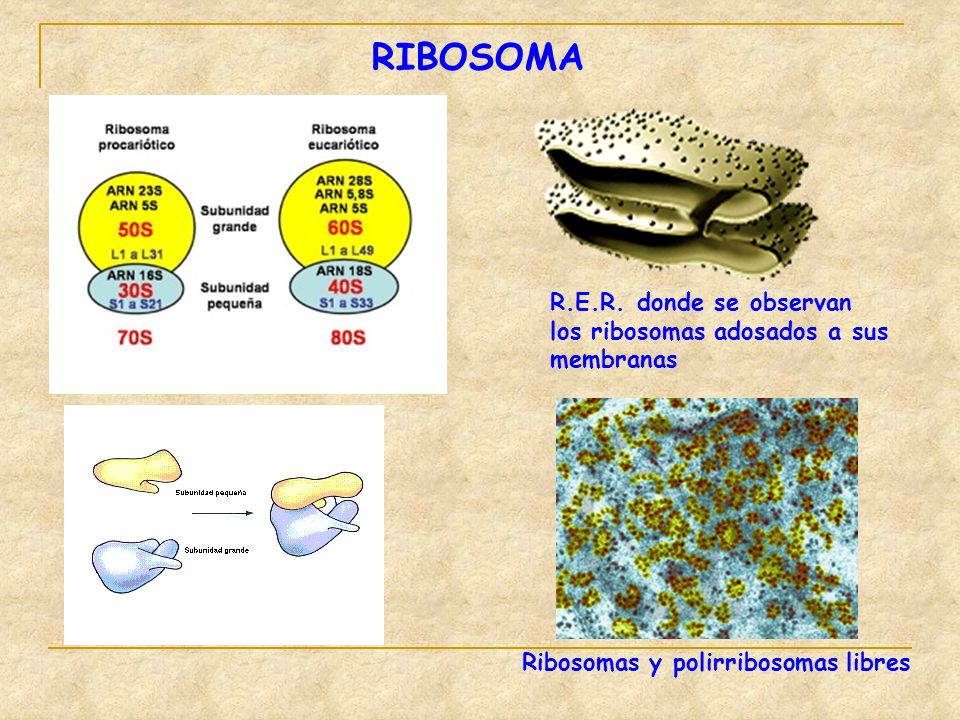 RIBOSOMA R.E.R. donde se observan los ribosomas adosados a sus