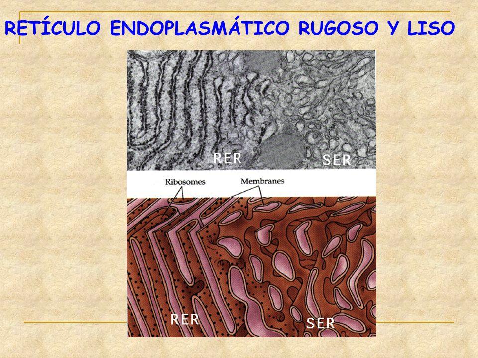 RETÍCULO ENDOPLASMÁTICO RUGOSO Y LISO