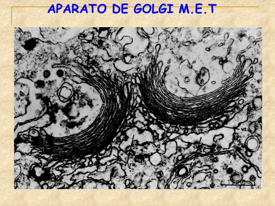 APARATO DE GOLGI M.E.T