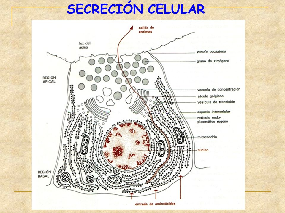 SECRECIÓN CELULAR