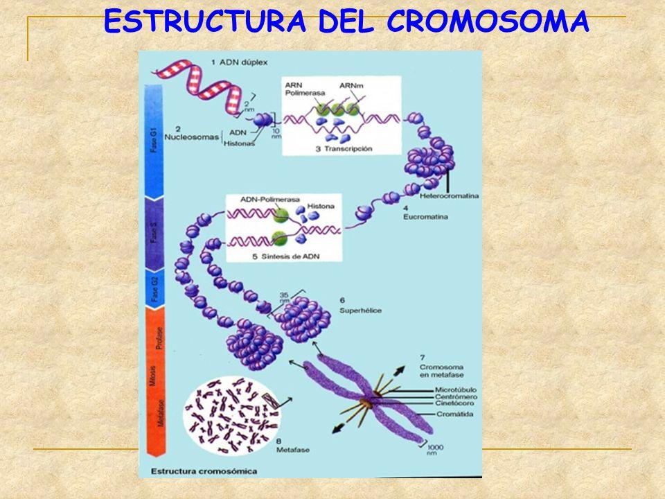 ESTRUCTURA DEL CROMOSOMA