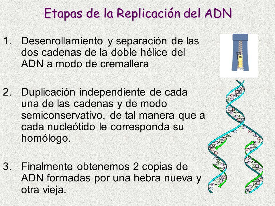 Etapas de la Replicación del ADN