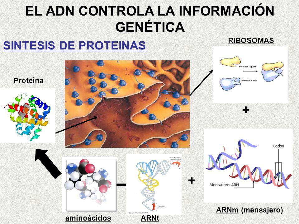 EL ADN CONTROLA LA INFORMACIÓN GENÉTICA