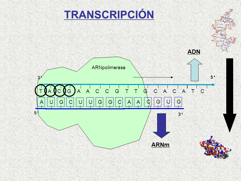 TRANSCRIPCIÓN ADN ARNm T A C G A A C C G T T G C A C A T C A U G C U U
