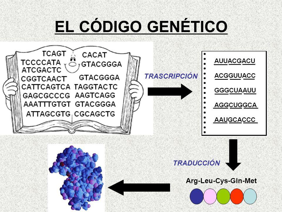 EL CÓDIGO GENÉTICO TRASCRIPCIÓN TRADUCCIÓN Arg-Leu-Cys-Gln-Met