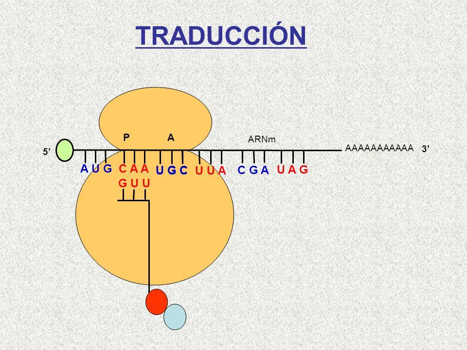TRADUCCIÓN A U G C A A U G C U G C U U A C G A U A G G U U Gln-Met P A