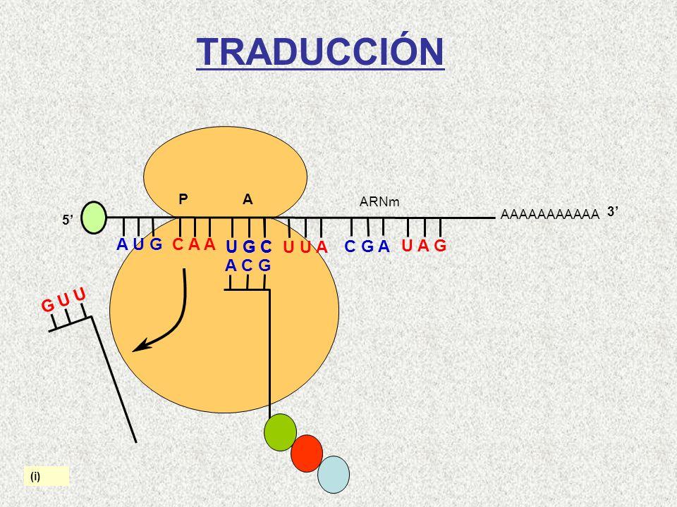 TRADUCCIÓN A U G C A A U G C U G C U U A C G A U A G A C G G U U