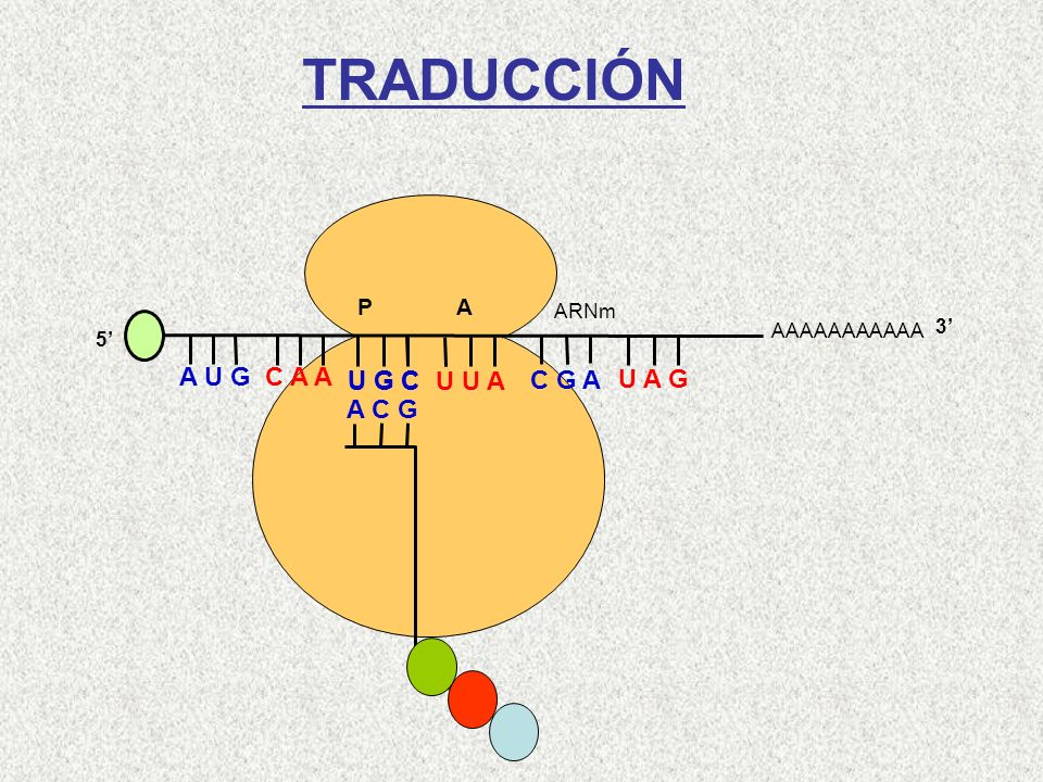 TRADUCCIÓN A U G C A A U G C U G C U U A C G A U A G A C G Cys-Gln-Met