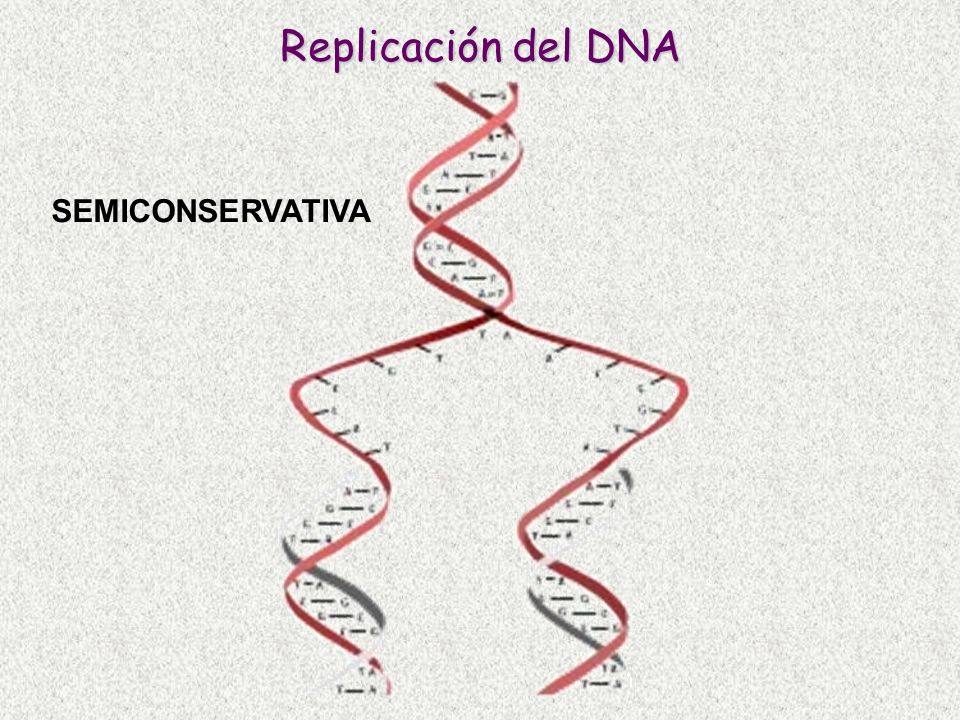 Replicación del DNA SEMICONSERVATIVA