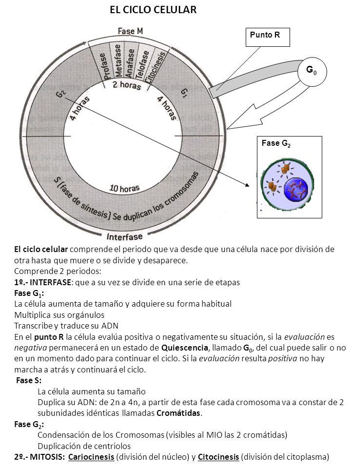 EL CICLO CELULARPunto R. G0. Fase G2.