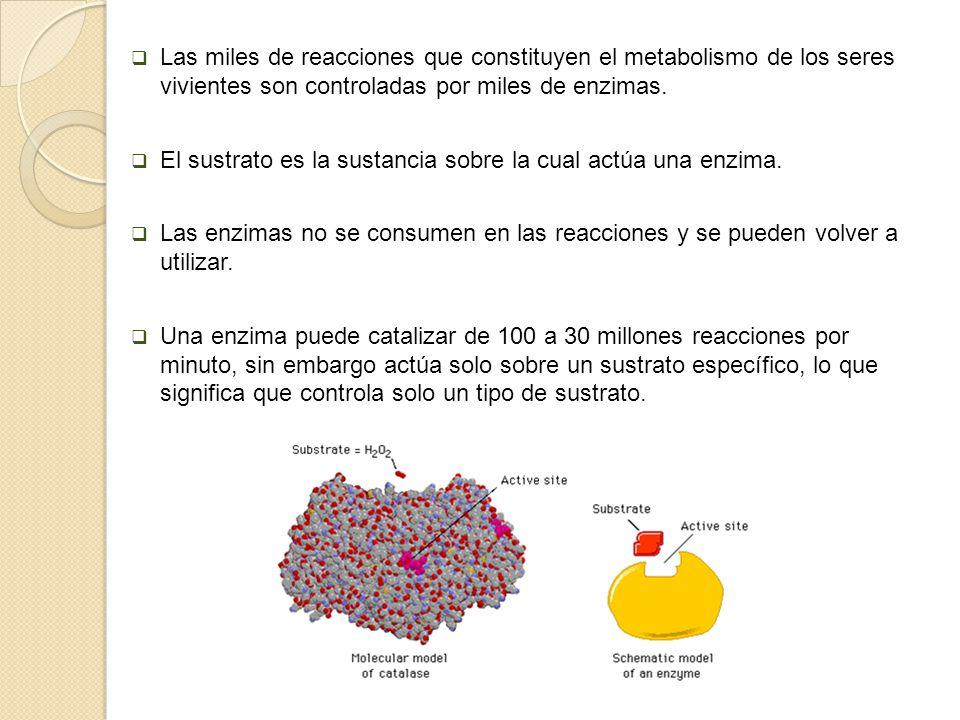 Las miles de reacciones que constituyen el metabolismo de los seres vivientes son controladas por miles de enzimas.