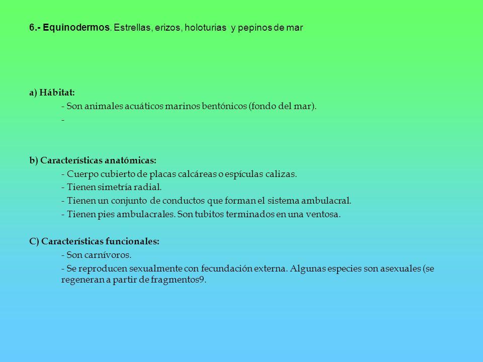 6.- Equinodermos. Estrellas, erizos, holoturias y pepinos de mar