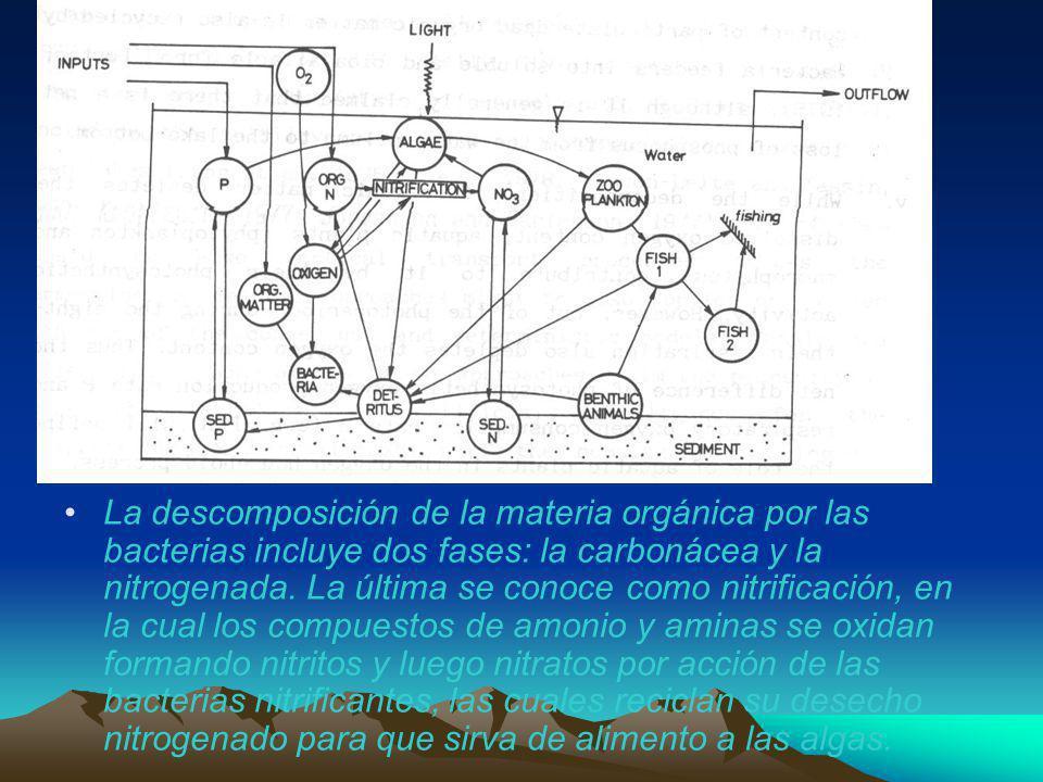 La descomposición de la materia orgánica por las bacterias incluye dos fases: la carbonácea y la nitrogenada.