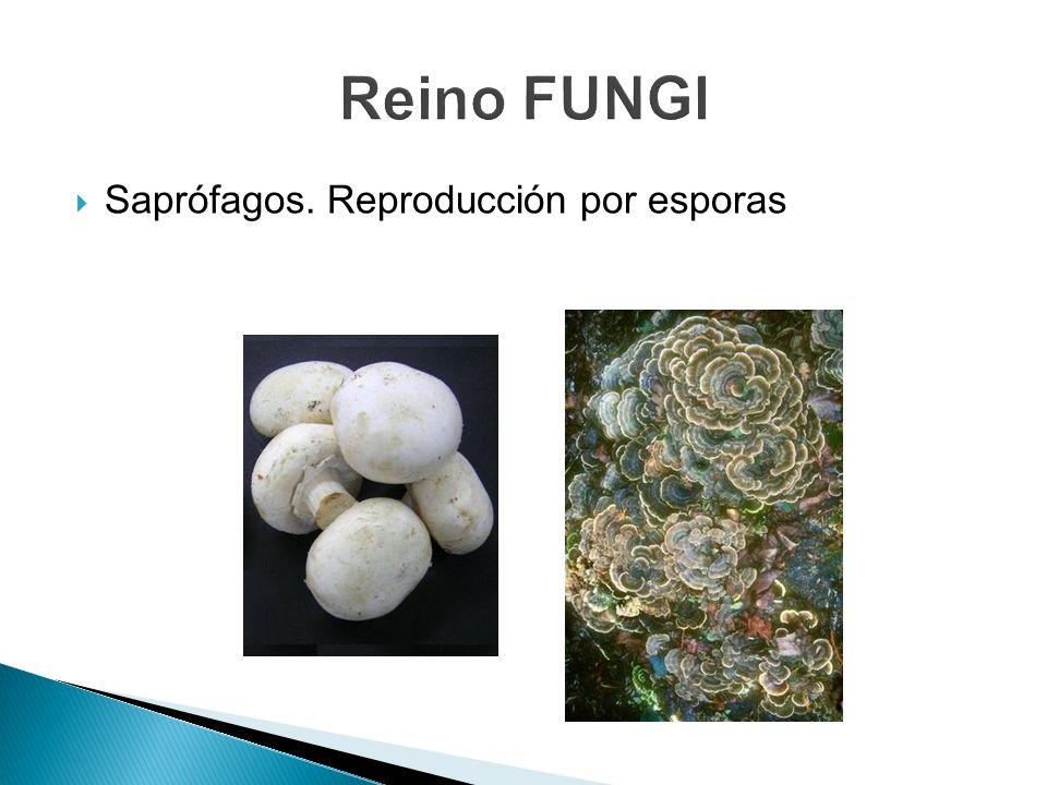 Reino FUNGI Saprófagos. Reproducción por esporas