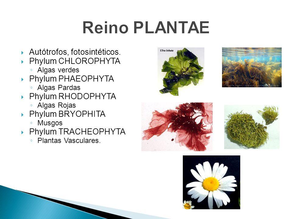 Reino PLANTAE Autótrofos, fotosintéticos. Phylum CHLOROPHYTA