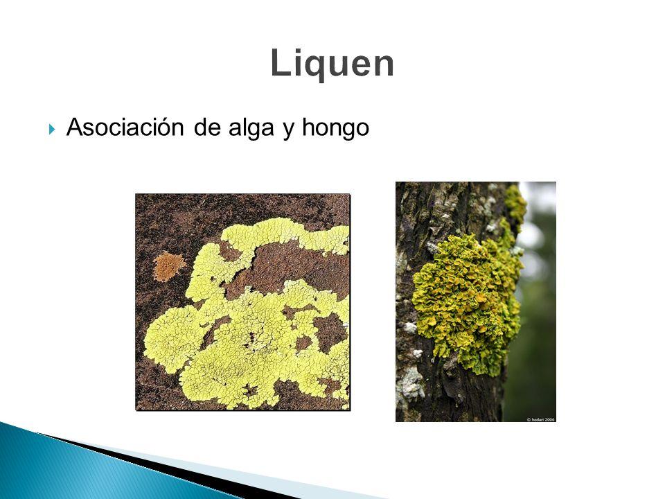 Liquen Asociación de alga y hongo
