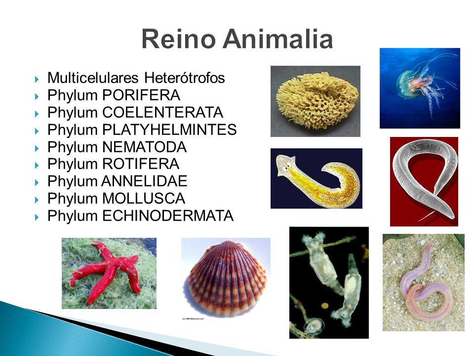 Reino Animalia Multicelulares Heterótrofos Phylum PORIFERA