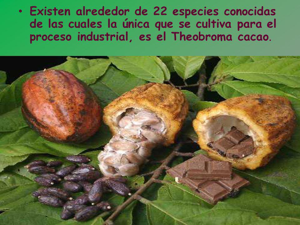 Este es el árbol de Theobroma cacaos palabra griega que traduce alimento de los dioses .