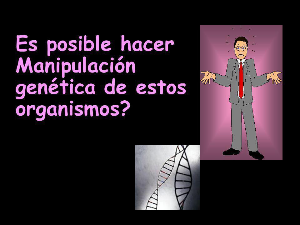 Es posible hacer Manipulación genética de estos organismos