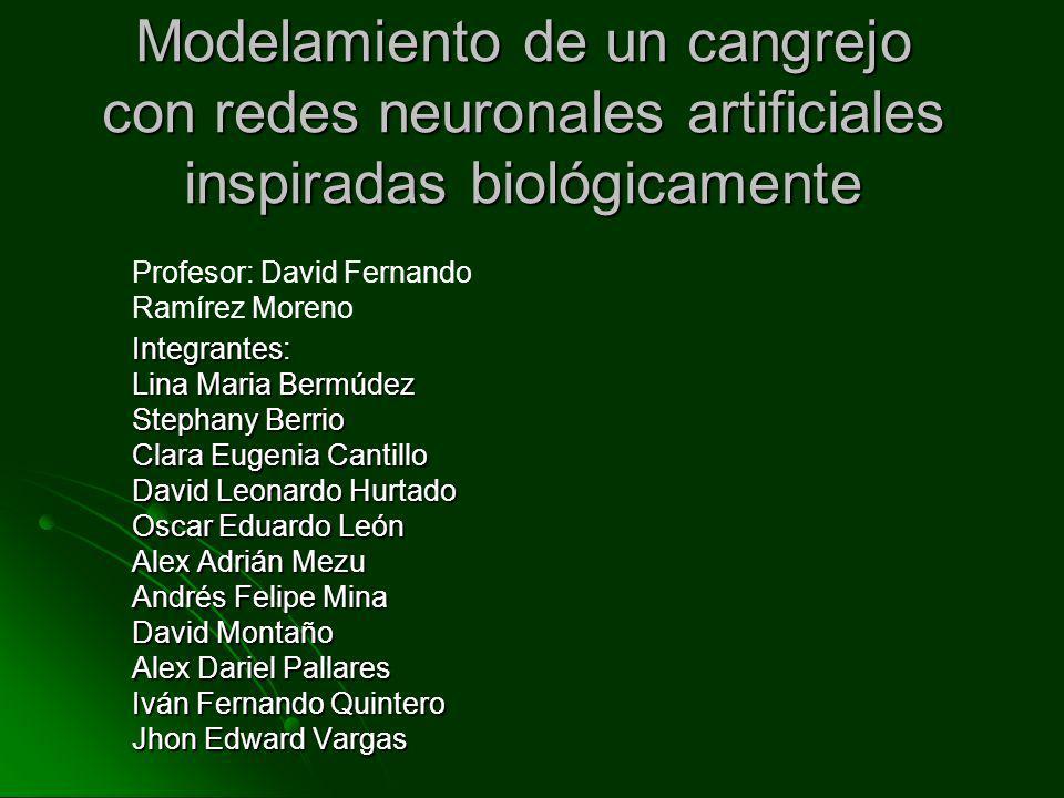 Modelamiento de un cangrejo con redes neuronales artificiales inspiradas biológicamente