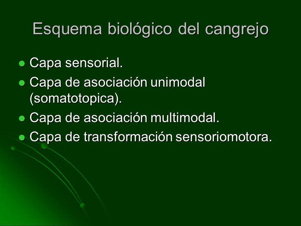 Esquema biológico del cangrejo