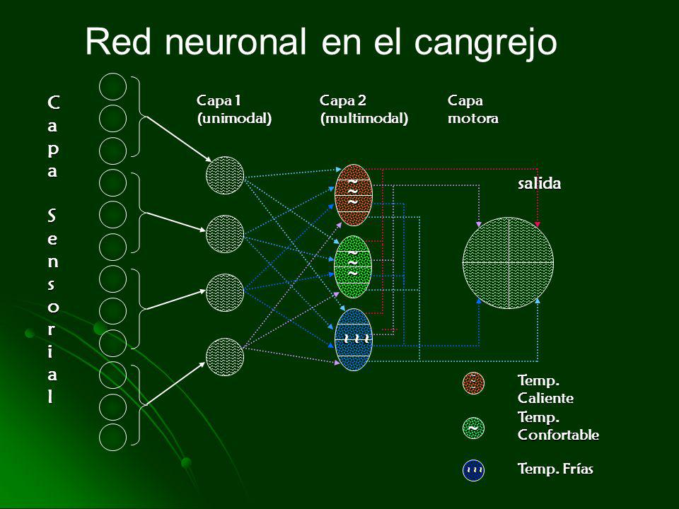Red neuronal en el cangrejo