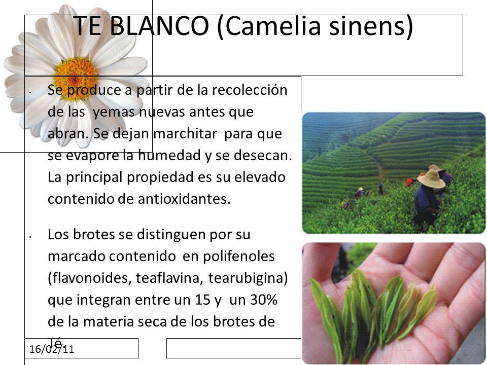 TE BLANCO (Camelia sinens)