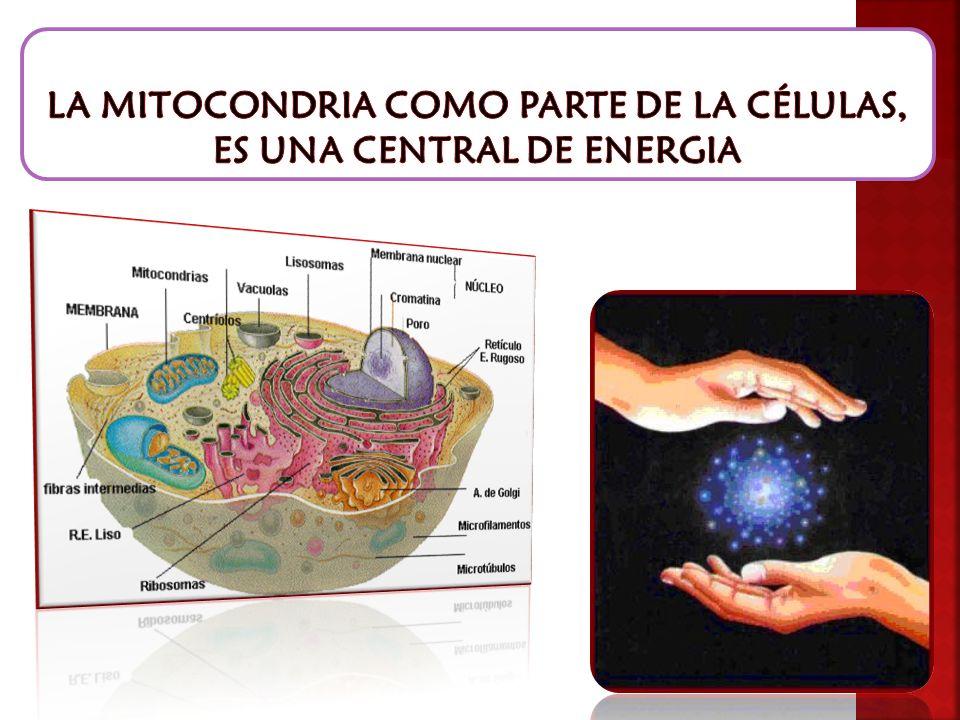 LA MITOCONDRIA COMO PARTE DE LA CÉLULAS, ES UNA CENTRAL DE ENERGIA