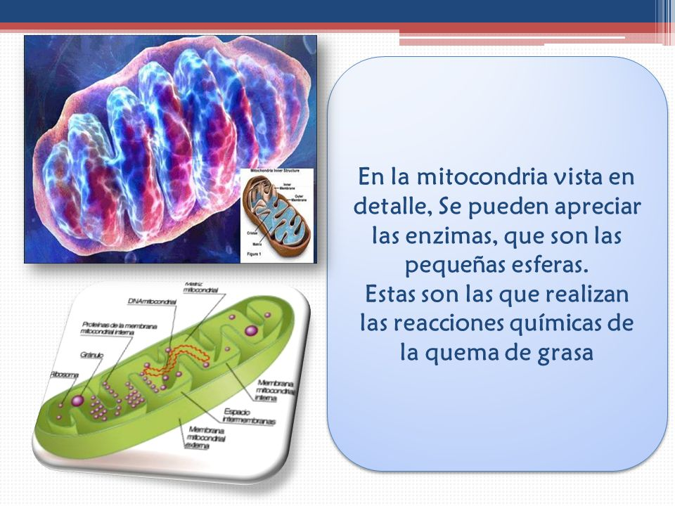 En la mitocondria vista en detalle, Se pueden apreciar las enzimas, que son las pequeñas esferas.