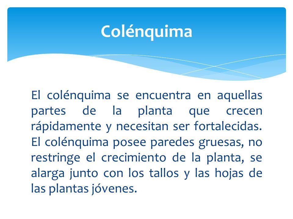 Colénquima