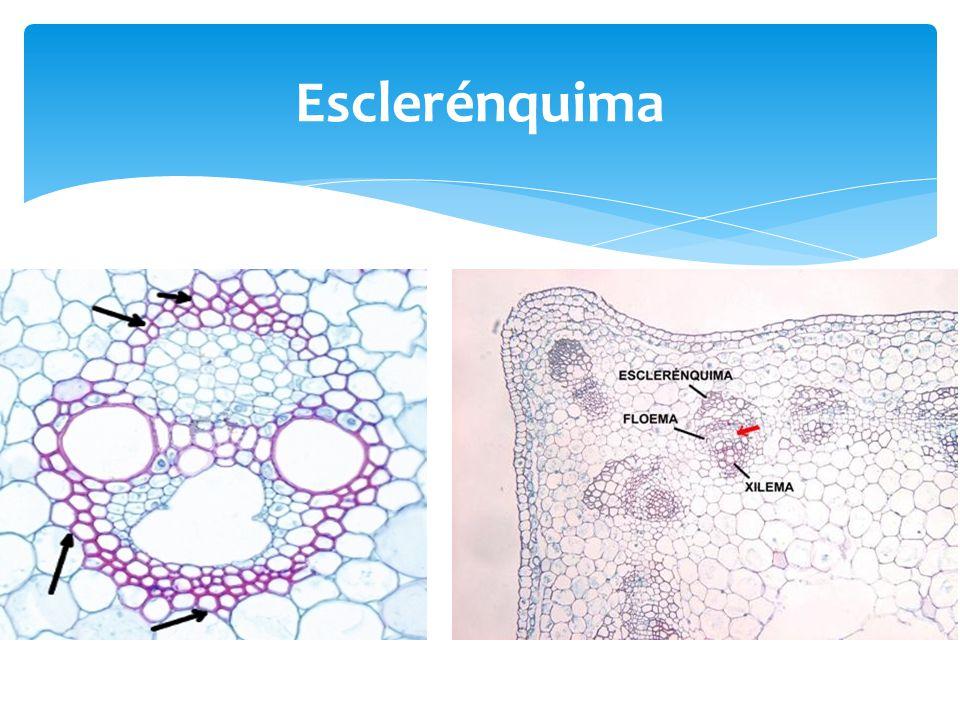 Esclerénquima
