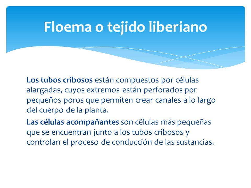Floema o tejido liberiano