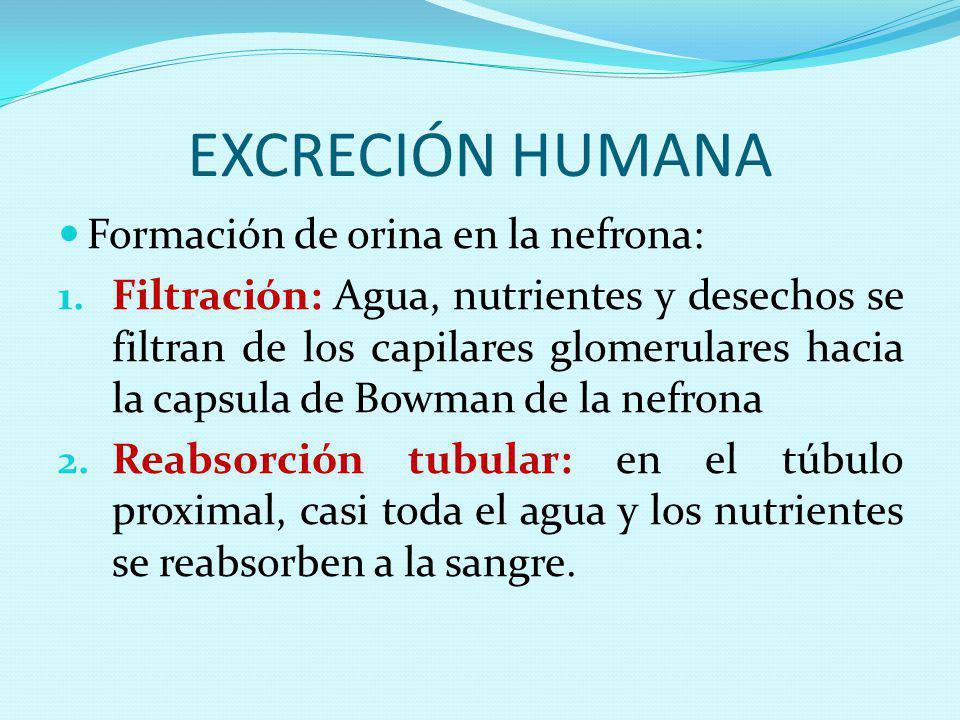 EXCRECIÓN HUMANA Formación de orina en la nefrona: