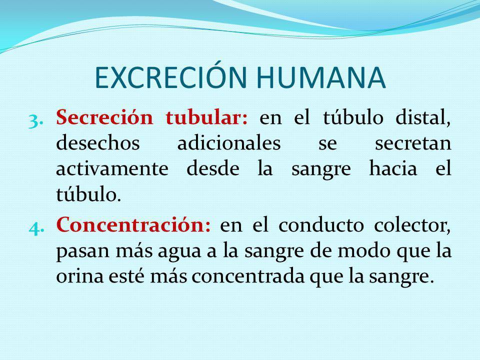 EXCRECIÓN HUMANA Secreción tubular: en el túbulo distal, desechos adicionales se secretan activamente desde la sangre hacia el túbulo.